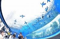 リニューアルされた屋外エリアの水槽で、頭上を飛び交うように泳ぐペンギン=東京都豊島区のサンシャイン水族館で2017年7月5日午前10時9分、宮間俊樹撮影