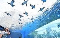 リニューアルされた屋外エリアの水槽で、頭上を飛び交うように泳ぐペンギン=東京都豊島区のサンシャイン水族館で2017年7月5日午前9時58分、宮間俊樹撮影