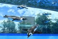 リニューアルされた屋外エリアの水槽で、頭上を飛び交うように泳ぐペンギン=東京都豊島区のサンシャイン水族館で2017年7月5日午前10時39分、宮間俊樹撮影