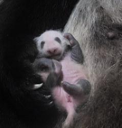 母親のシンシンの右前足に抱かれているジャイアントパンダの赤ちゃん=2017年7月1日正午ごろ、東京動物園協会提供