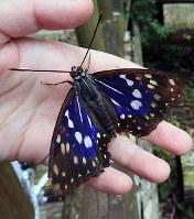 青紫色の羽が美しいオオムラサキのオス=兵庫県丹波市の丹波の森公苑で、福家多恵子さん撮影