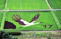 コウノトリを描いた「田んぼアート」=兵庫県豊岡市但東町正法寺で2017年7月7日、柴崎達矢撮影