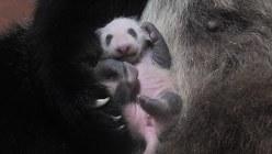 上野動物園で生まれたパンダの赤ちゃん(東京動物園協会提供)