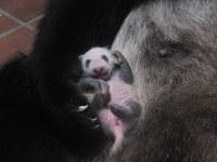 母親のシンシンの右前足に抱かれているジャイアントパンダの赤ちゃん=2017年7月1日正午ごろ(東京動物園協会提供)