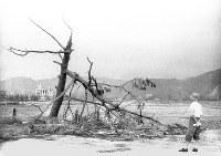 (6)陸軍西練兵場南東角(爆心地から600メートル)。爆風で木が爆心地と反対方向に折れている。左奥に広島県商工経済会=現広島市中区基町で1945年9月11日前後、山上圓太郎撮影 ※広島平和記念資料館(広島原爆資料館)の検証による