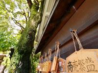 (10)大クスノキで知られた国泰寺は戦後移転したが、西隣の白神社は同じ場所に再建された。青々とした葉が生い茂る被爆樹が残る=広島市中区で2017年6月8日、山田尚弘撮影