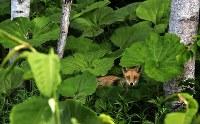 林からこちらを見つめるキタキツネ。エキノコックスの駆虫が進めば、最も身近な野生動物として親しめる存在になり得る=北海道ニセコ町で2017年5月26日、梅村直承撮影