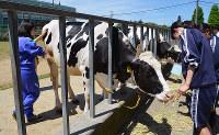 牛の世話をする体験入学の中学生ら=堺市美原区の府立農芸高で、亀田早苗撮影