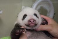 生後40日になったジャイアントパンダの赤ちゃん。少し目が開いてきている=東京都台東区の上野動物園で2017年7月22日、東京動物園協会提供