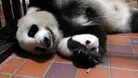 母親のシンシンの腕の中にいるジャイアントパンダの雌の赤ちゃん=東京都台東区の上野動物園で2017年7月25日(東京動物園協会提供)