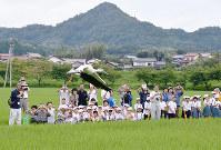 西小児童の目の前で大空に羽ばたくコウノトリ=島根県雲南市で、山田英之撮影