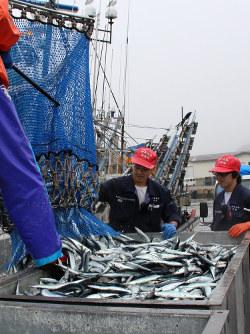 20トン未満の棒受け網漁船で初水揚げされたサンマ=根室市で