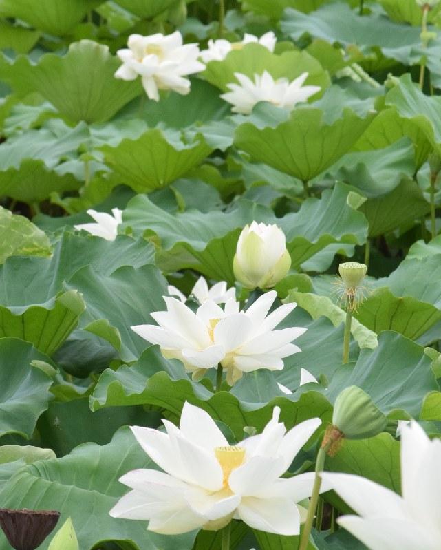 ハス の 花