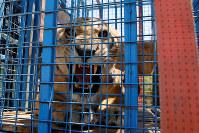 8月16日、シリア内戦の激戦地である北部アレッポの動物園から救出されたライオンやトラなどが避難先となるヨルダンに移送された。写真は檻に入った雌ライオン。11日撮影(2017年 ロイター/MUHAMMAD HAMED)