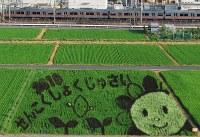 見ごろとなった田んぼアート=愛知県尾張旭市で2017年07月20日撮影