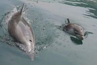 母のサキ(左)のそばで泳ぐ「つばさ」