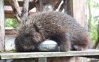 Uni the Canadian porcupine rests on top of a frozen hot water bottle to escape from the heat at Yuki Zoo in Kofu, on Aug. 23, 2017. (Mainichi)