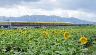 ひまわり畑を通過するドクターイエロー=岐阜県大垣市で2017年8月25日、渡辺隆文撮影