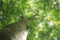 ブナの大木を見上げる=長野県信濃町で、C・W・ニコル・アファンの森財団提供