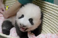 生まれてから80日になったジャイアントパンダの赤ちゃん=台東区の上野動物園で2017年8月31日午前10時38分、東京動物園協会提供