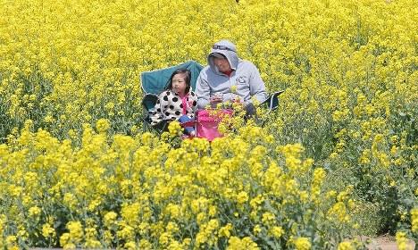 東日本大震災の津波で被災した福島県南相馬市原町区の上野敬幸さん(右)と震災後に生まれた次女を満開の菜の花が包んだ。母(当時60歳)と長女(同8歳)を亡くし、父(同63歳)と長男(同3歳)が行方不明の上野さんは、ボランティア団体を設立し、普段は行方不明者を捜索している。一方、被災地に笑顔を取り戻そうと、更地に菜の花を植え続けている=福島県南相馬市で2017年4月30日、宮武祐希撮影