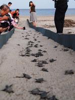 ふ化し、海を目指して歩くアカウミガメの子どもたちと、見守る近隣住民ら=津市内の海岸で2017年9月3日、山本萌撮影