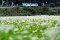 三陸鉄道北リアス線の田老駅そばに咲くソバの花=岩手県宮古市で2017年9月6日、小出洋平撮影