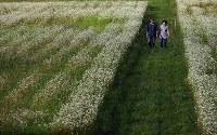 ソバ畑を歩く小林智恵子さん(右)と夫徳光さん=岩手県宮古市で2017年9月5日、小出洋平撮影