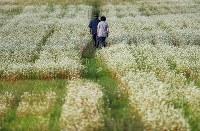 そば畑を歩く小林智恵子さん(右)と夫徳光さん=岩手県宮古市で2017年9月5日、小出洋平撮影