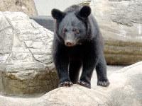 クマ舎で遊ぶツキノワグマの「よねこ」=とくしま動物園提供