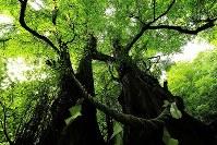 枝で2本互いに支え合うように立つ「縁桂」=北海道乙部町で2017年8月12日、梅村直承撮影
