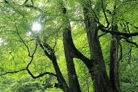 縁結びの木「縁桂」。2本のカツラが7メートルのところで枝によって結合している=北海道乙部町で2017年8月12日、梅村直承撮影