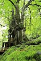 縁結びの木「縁桂」。周辺は苔むしている=北海道乙部町で2017年8月12日、梅村直承撮影