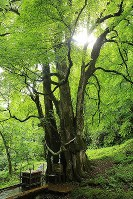 縁結びの木「縁桂」=北海道乙部町で2017年8月12日、梅村直承撮影