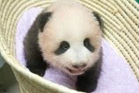 生後90日になったジャイアントパンダの赤ちゃん=東京都台東区の上野動物園で10日、東京動物園協会提供