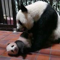 生まれてから90日になったジャイアントパンダの赤ちゃんと母親のシンシン=東京都台東区の上野動物園で10日、東京動物園協会