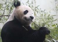 9月11日、英スコットランドのエディンバラ動物園は、雌のパンダ「ティエンティエン」(写真)は妊娠していないと発表した。同動物園は8月、妊娠した可能性があるとしていた。写真は昨年4月撮影(2017年 ロイター/Russell Cheyne)