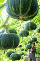 収穫が続く「空飛ぶパンプキン」=北海道長沼町で2017年9月5日、梅村直承撮影