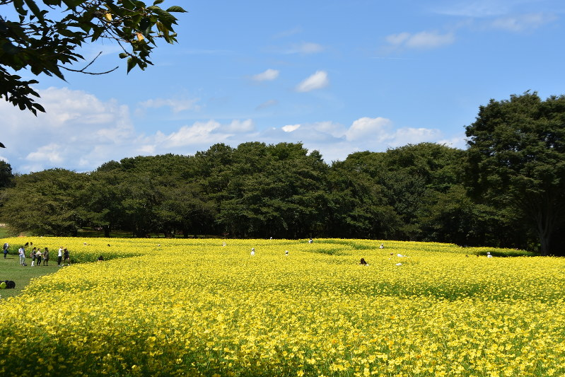 「コスモス 国営昭和記念公園 黄色」の画像検索結果