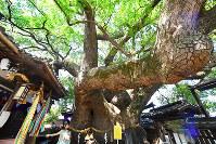 大阪府門真市の三島神社にそびえるクスノキ。そばで見上げれば全姿が視界からはみ出すような巨木は、樹齢1000年を超えるという=大阪府門真市で、大西岳彦撮影