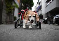 完成した車椅子で歩くビーグルのララ。歩くのがうれしいのか何度も店の前の道路を往復した=大阪市住之江区で、久保玲撮影