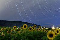 星空の下で咲き誇る夜のヒマワリ=京都市西京区で、小松雄介撮影(30秒露光で連続撮影した500枚を合成)