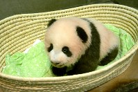 The giant panda cub is seen on her 100th day since birth at the Ueno Zoological Gardens in Tokyo's Taito Ward on Sept. 20, 2017. (Photo courtesy of the Tokyo Zoological Park Society)