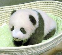 生後100日を迎えたシャンシャン=東京都台東区の上野動物園で20日(東京動物園協会提供)