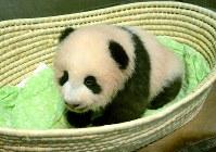 生後100日を迎えた、シンシンの子供=東京都台東区の上野動物園で2017年9月20日(東京動物園協会提供)