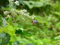 花の蜜を吸いにきたアサギマダラ=長野県信濃町で、C・W・ニコル・アファンの森財団提供