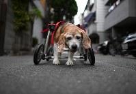 完成した車椅子で歩くビーグルのララ。歩くのがうれしいのか何度も店の前の道路を往復した=大阪市住之江区で2017年8月26日、久保玲撮影