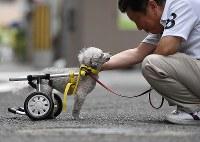 「あんたよかったなあ」。トイプードルのユナが歩く姿を見て、飼い主の東田実さん(57)は何度もつぶやいていた=大阪市住之江区で2017年8月26日、久保玲撮影
