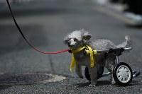 完成した車椅子で歩くトイプードルのユナ。その表情はうれしそうに見えた=大阪市住之江区で2017年8月26日、久保玲撮影