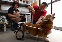 製作のために店に訪れた犬の体長を測る川西英治さん(右)と仁美さん=大阪市住之江区で2017年8月26日、久保玲撮影